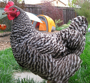 Barred Rock Rooster Vs Hen