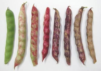recipe: speckled cranberry pole bean [7]
