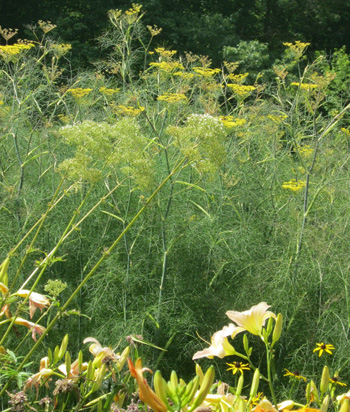 This Photo Is 4 Foot Tall Bronze Fennel In The Background